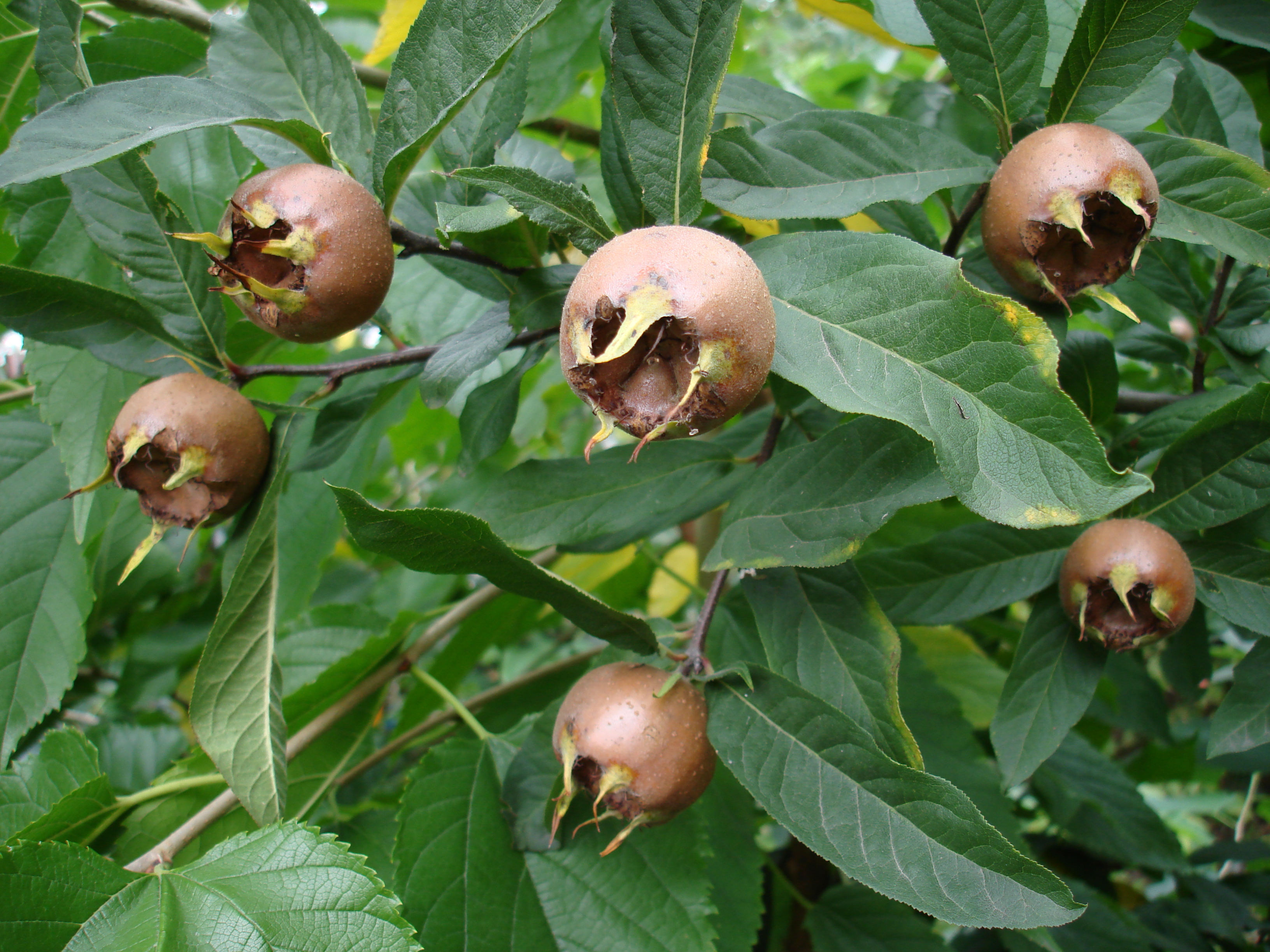 mespilus germanica Dutch Giant