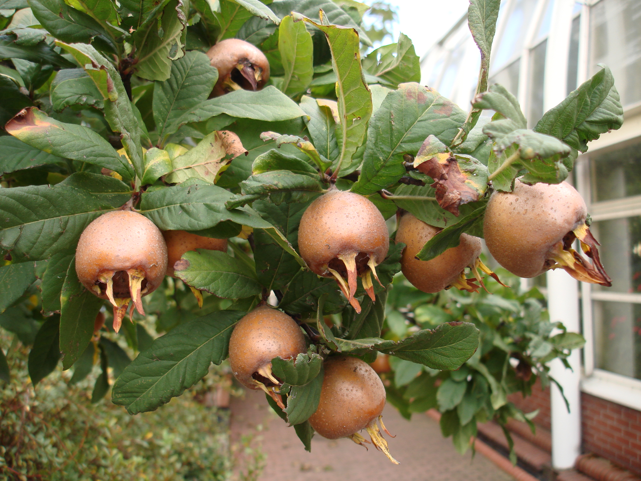 mespilus germanica Nottingham